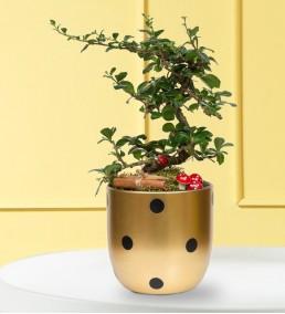 puantiyeli saksıda zelkova bonsai