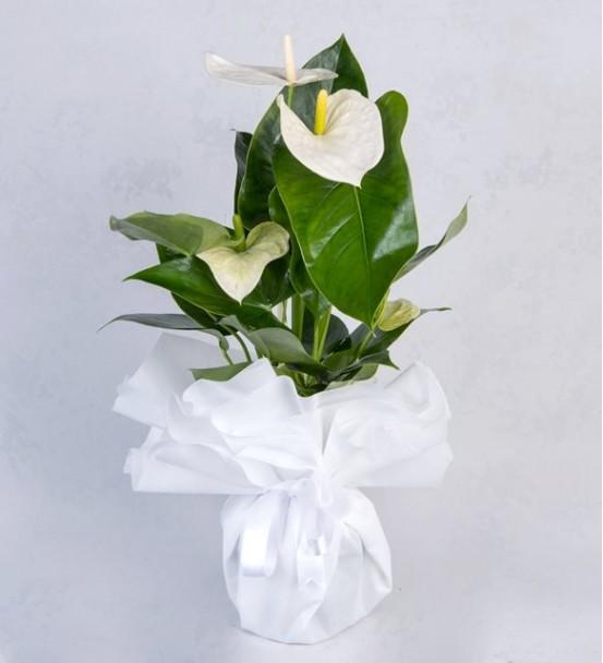 beyaz anthoryum süslü