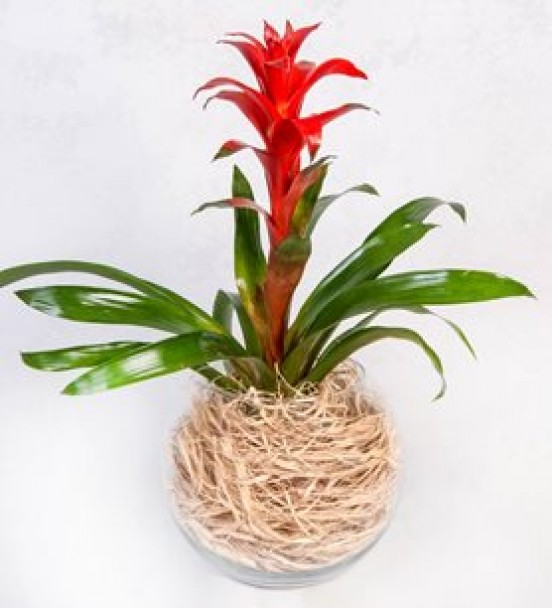 akvaryum vazo da guzmania bitkisi