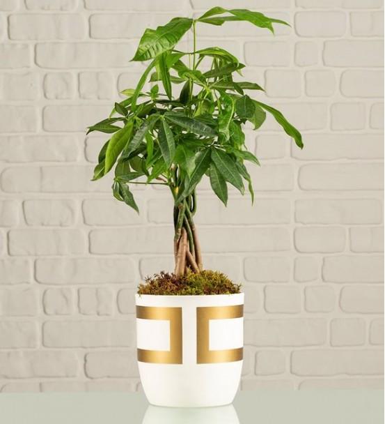 gold kare vazı da para ağacı