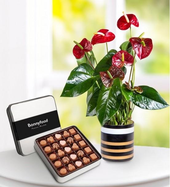çikolatalı anthoryum saksı çiçeği