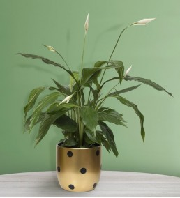 puantiyeli saksıda barış çiçeği