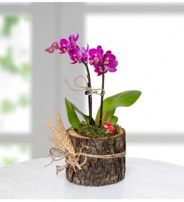 doğal ahşap kütükte mini orkide