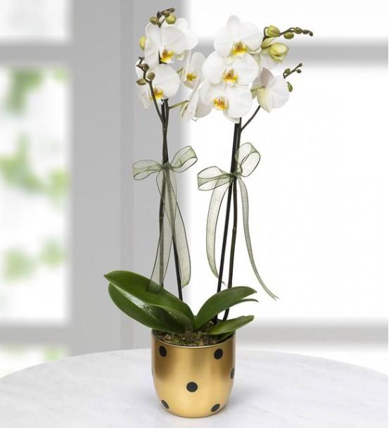 Gold Vazoda Beyaz 2li Orkide