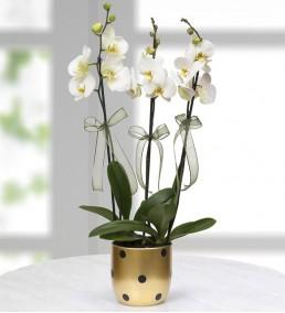 Gold Vazoda Beyaz 3 Dal Orkide