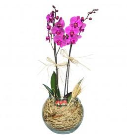 Akvaryumda Mor 2 li Orkide