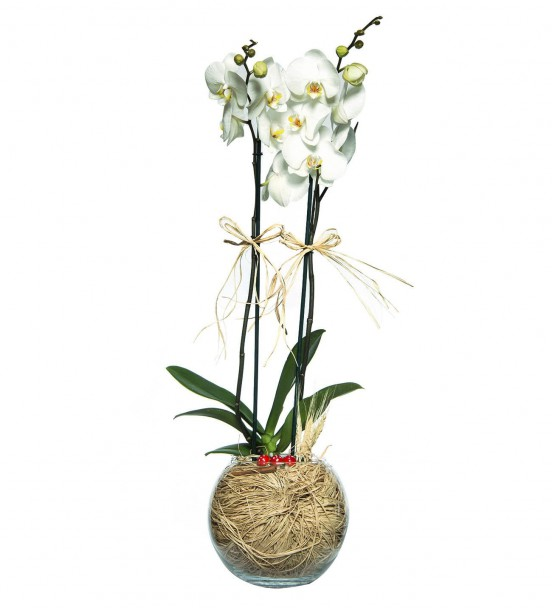 Akvaryumda 2 li Beyaz Orkide